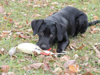 black lab pure bred female
