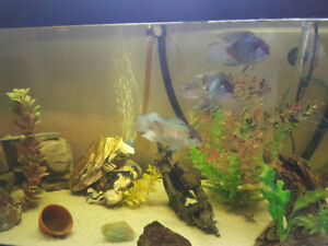 I have four full grown electric blue accaras for sale to a good