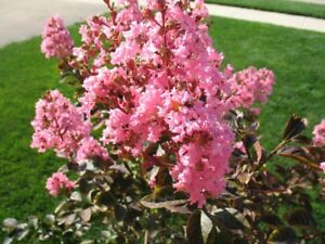 Exotic plants for sale -- Hardy Crepe Myrtle (Lagerstroemia) $20