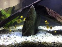 Electric Yellow Cichlids