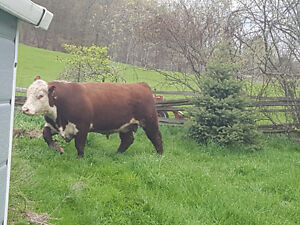 2yr old Hereford bull