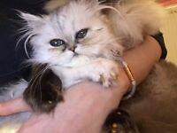 Active Persian Kitten