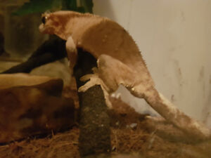 Female Crested Gecko for rehoming