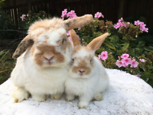 Gorgeous Bonded Purebred Holland Lops