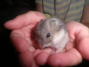 hamster wither white
