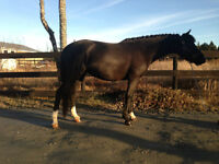 Horses and Ponies For Lease at Memento Farm