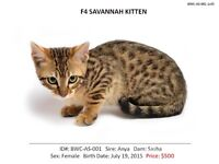 TOP QUALITY F4 SAVANNAH KIITENS**AVAILABLE NOW - $500ea
