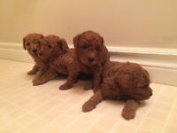 4 Purebred Red Poodle Puppies, \ Sold Out