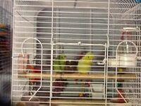 Couple de petit perroquet touis celeste inclue cage et accessoir