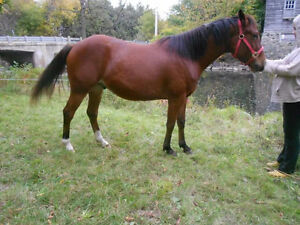 Beautiful QH/standardbred gelding for free lease!