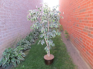 6 FOOT SILK TREE=====GREAT ADDITION TO ANY ROOM