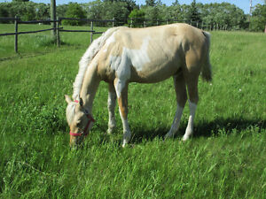 2015 Registered APHA Palomino Tobiano Filly,Mystical Olena Gold