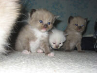Purebred Mink and Traditional Seal-point Ragdoll Kitten's