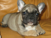 Quality CKC reg. French Bulldog Pups