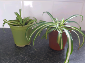 Small spider plants £1 each
