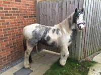 Cob x welsh pony