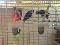 fire finches and blue masked love birds