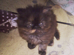 One Pure Tortie Persian Girl For Sale
