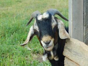 Free Billy goat