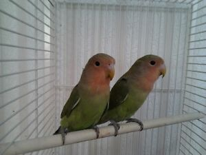 HAND RAISED BABY LOVE BIRD & CAGE FOR SALE