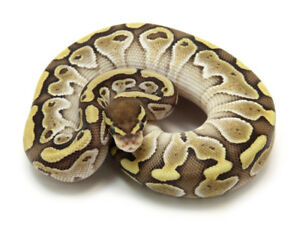 Looking for Lesser or Butter ball pythons male or female