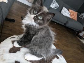 Last of litter - Unique Siberian mix kitten