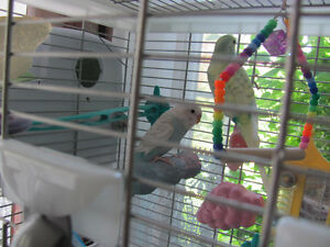 Pair of 14 month old budgies