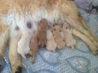 Beautiful Golden Doodle Puppies For Sale