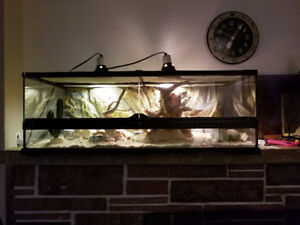 Bearded Dragon and complete set up