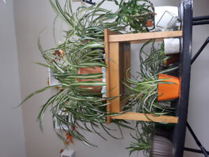 Spider plants for sale!!!