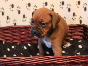 CKC Reg Beautiful Boxer Puppies