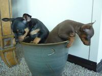 Miniature Pinscher Pups