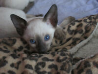 L@@k!! ONE SIAMESE KITTEN IN TIME FOR VALENTINE`S DAY!!