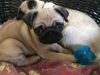 Gorgeous KC Registered Pug Puppy
