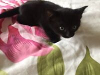 Gorgeous black kittens for sale £30 x1 male x1 female