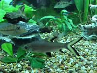 Large Bala / Silver Shark Tropical Fish