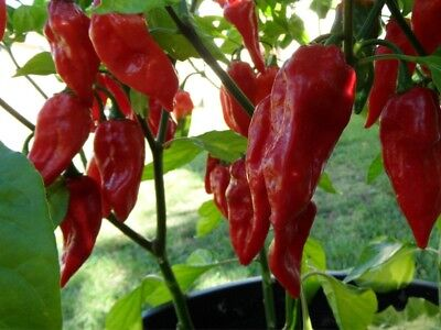 1 Pack 100 Green Chili Pepper Seeds Cayenne Pepper Organic Vegetables S043