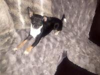 Femelle Chihuahua Pure Race Tricolore Enr. | Est. 4.3 lbs adulte