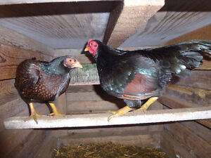Dark Cornish Bantam Pair
