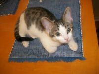 Male Kitten free to excellent home