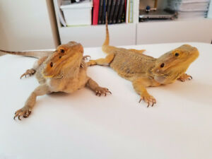 Female & Male Bearded Dragon, Cage, Lights, all theother tools