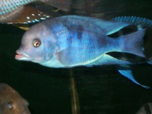 BLUE DOLPHIN HEAD BABY CICHLIDS