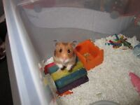 Hamster with dream home for adoption