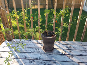 Trinidad Moruga full grown pepper tree hottest in the world West Island Greater Montréal image 1