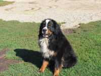 RARE BLACK AND WHITE St. Bernese Puppies 4 GIRLS STILL AVAILABLE