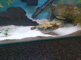 Large Dragon Pufferfish needs 100+ litre tank