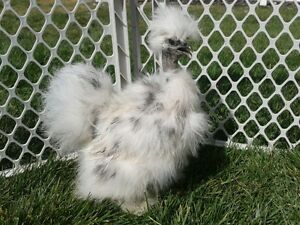 Looking for Silkie chicks, Showgirl Silkie, frizzled