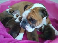 Chiots bulldog ( bouledogue) anglais pure race,enregistré CKC