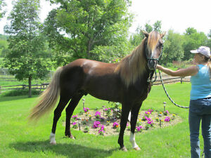 Rocky Mountain Horse For Stud Service, and  Horses For Sale!!!!