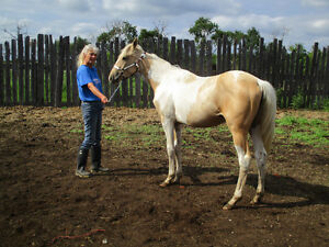 2015 Registered APHA Palomino Tobiano Filly (Mystical Hot Chic)